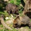 Medveď v okolí Kamenice